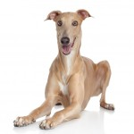 greyhound-shutterstock_133826861